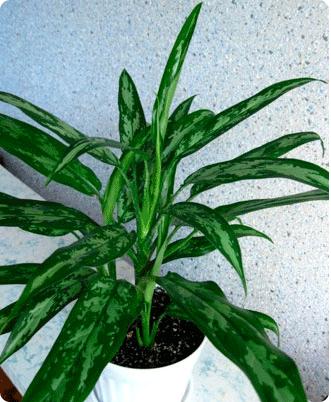 Серебристо зеленые листья у цветка