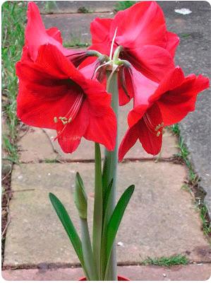 Цветы выращиваемые из луковиц