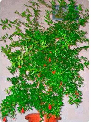 Гранат обыкновенный фото